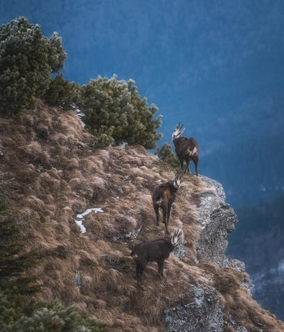 Finally I could capture the black goats on my way to Toaca peak-Ceahlau mountains Romania.